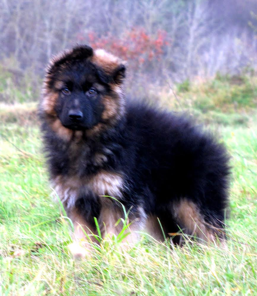 german shepherd import from segal